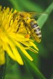 diente de león El resorte está aquí Amor de la abeja esta flor Fotos de archivo