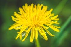 diente de león El resorte está aquí Amor de la abeja esta flor Fotografía macra Foto de archivo