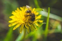 diente de león El resorte está aquí Amor de la abeja esta flor Fotografía macra Fotos de archivo libres de regalías