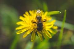 diente de león El resorte está aquí Amor de la abeja esta flor Fotografía macra Imagen de archivo libre de regalías