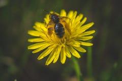 diente de león El resorte está aquí Amor de la abeja esta flor Fotografía macra Imagen de archivo