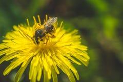 diente de león El resorte está aquí Amor de la abeja esta flor Fotografía macra Foto de archivo libre de regalías