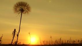 Diente de león en el campo en el fondo de una puesta del sol hermosa flor floreciente del diente de león en la salida del sol D
