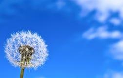 Diente de león en el fondo del cielo azul. Foto de archivo