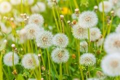 Diente de león en el prado, campo de flor floreciente, color de la miel en la hierba Imagenes de archivo