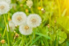 Diente de león en el prado, campo de flor floreciente, color de la miel en la hierba Foto de archivo libre de regalías