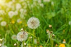 Diente de león en el prado, campo de flor floreciente, color de la miel en la hierba Imágenes de archivo libres de regalías
