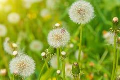 Diente de león en el prado, campo de flor floreciente, color de la miel en la hierba Imagen de archivo