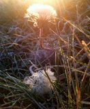 Diente de león en el sol fotos de archivo libres de regalías