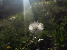 Diente de león en el sol Foto de archivo libre de regalías