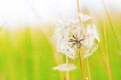 Diente de león en el viento Foto de archivo libre de regalías