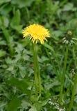 Diente de león en la floración Foto de archivo libre de regalías