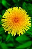 Diente de león en la hierba verde Fotografía de archivo libre de regalías