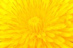 Diente de león en la plena floración Fotos de archivo