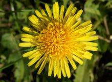 Diente de león en la primavera Imagen de archivo libre de regalías
