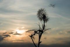 Diente de león en la puesta del sol Fotos de archivo libres de regalías