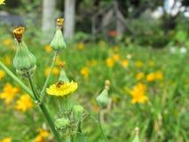 Flor Diente De León Amarilla Abeja Campo De Lirios. Diente De León en primer plano con una abeja sobre ella, algunos botones no han abierto aún, detr royalty free stock images