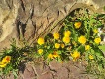 Diente de león en tiempo de primavera Imagen de archivo