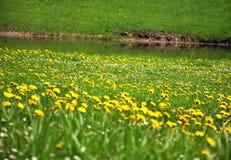 Diente de león en un prado. Foto de archivo libre de regalías