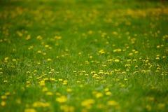 Diente de león entre las flores Fotografía de archivo libre de regalías