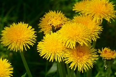 Diente de león entre las flores imagen de archivo libre de regalías