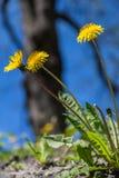Diente de león entre las flores Foto de archivo libre de regalías