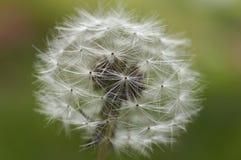 Diente de león, flor, Foto de archivo libre de regalías