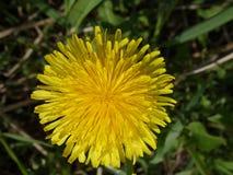Diente de león floreciente Fotos de archivo libres de regalías
