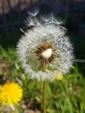 Diente de león frágil en el viento Imagen de archivo libre de regalías
