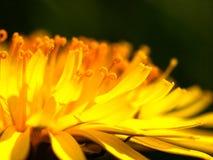 Diente de león macro de la flor fotos de archivo
