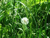 Diente de león mullido en la hierba verde fotografía de archivo libre de regalías
