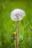 Diente de león mullido en un fondo de la hierba verde Fotografía de archivo