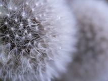 Diente de león Nevado imágenes de archivo libres de regalías