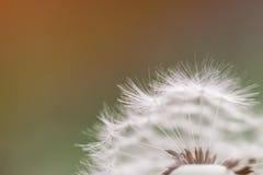 Diente de león - officinale del taraxacum, macro Foto de archivo libre de regalías