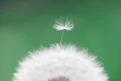 Diente de león - officinale del taraxacum, macro Imagen de archivo libre de regalías