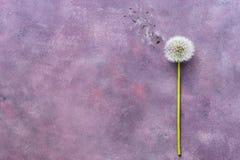 Diente de león plano de la endecha en un fondo púrpura abstracto Minimalismo de la flor imagen de archivo