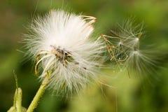 Diente de león salvaje con el viento que sopla sus semillas Imágenes de archivo libres de regalías