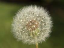 Diente de león Seedhead Fotos de archivo libres de regalías