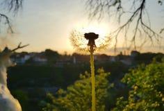 Diente de león soleado Fotos de archivo libres de regalías