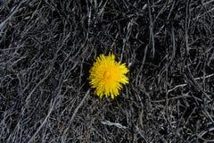 Diente de león solo Fotos de archivo libres de regalías