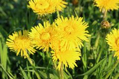 Diente de león de varias flores del amarillo en un fondo verde Cierre para arriba Fotografía de archivo