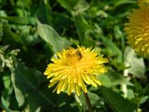 Diente de león y abeja Foto de archivo libre de regalías