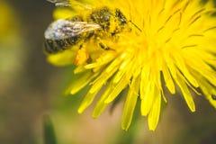 Diente de león y abeja amarillos El resorte está aquí Amor de la abeja esta flor Fotografía macra Foto de archivo libre de regalías