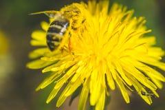 Diente de león y abeja amarillos El resorte está aquí Amor de la abeja esta flor Fotografía macra Foto de archivo