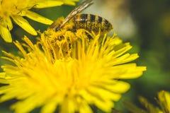 Diente de león y abeja amarillos El resorte está aquí Amor de la abeja esta flor Fotografía macra Fotografía de archivo libre de regalías