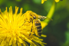 Diente de león y abeja amarillos El resorte está aquí Amor de la abeja esta flor Fotografía macra Imagenes de archivo