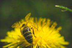 Diente de león y abeja amarillos El resorte está aquí Amor de la abeja esta flor Fotografía macra Imágenes de archivo libres de regalías