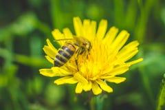 Diente de león y abeja amarillos El resorte está aquí Amor de la abeja esta flor Fotografía macra Imagen de archivo libre de regalías