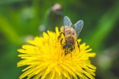 Diente de león y abeja amarillos El resorte está aquí Amor de la abeja esta flor Fotografía macra Fotos de archivo libres de regalías