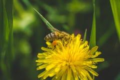 Diente de león y abeja amarillos El resorte está aquí Amor de la abeja esta flor Fotografía macra Fotos de archivo